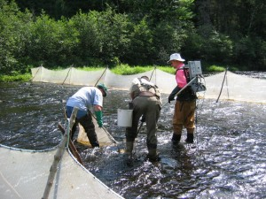 Electrofishing a DFO closed site on the Cains River