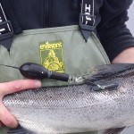 Pop-up satellite tag on salmon