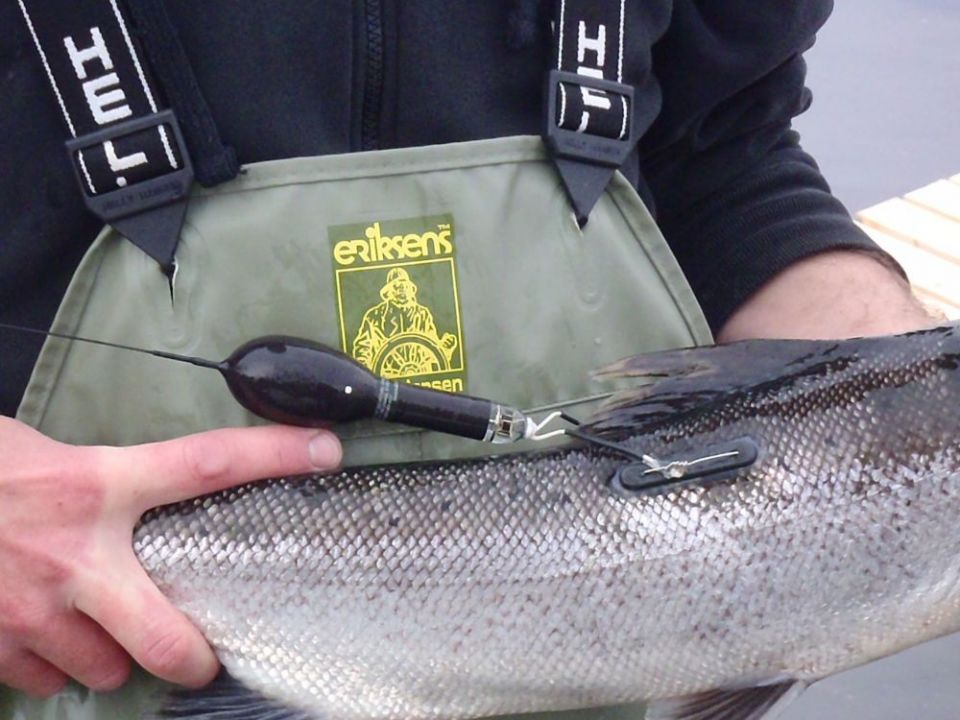 Pop-up satellite tag on salmon